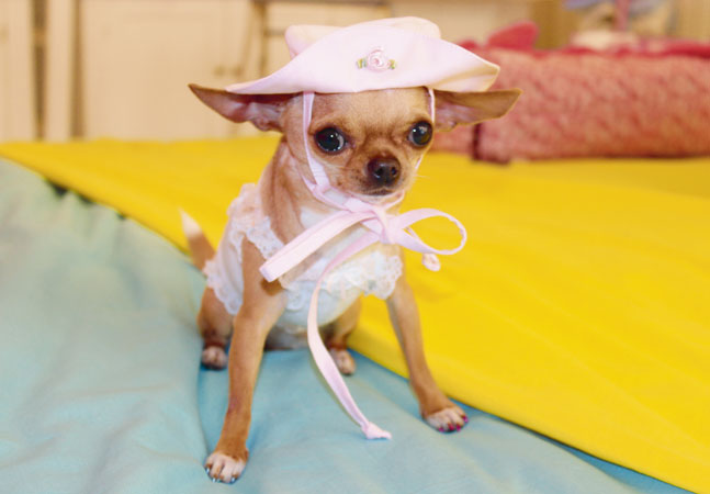 spesso Shopping per cani di piccola taglia | CHIChuahua Boutique IL73
